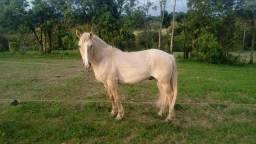 Título do anúncio: Cavalo Crioulo Confirmado