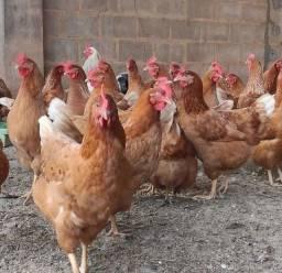 Vende se galinha caipira
