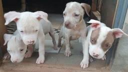 Título do anúncio: Filhotes de  pitbull