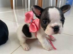 Vende-se lindos filhotes de Bulldog Francês