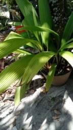 Título do anúncio: Planta natural