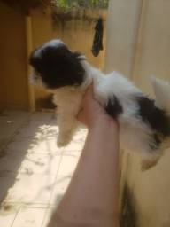 Título do anúncio: Shitzu filhote minizinho