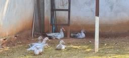 Vende patos de raça cor azul