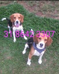 Título do anúncio: Filhotes de beagle c/ pedigree
