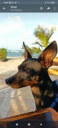 Título do anúncio: Cachorro pra cruza pinscher