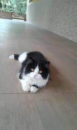 Gato comum