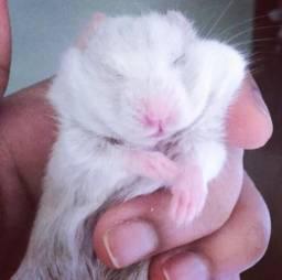 Filhote Hamster