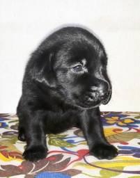 Labrador filhotes de Labrador