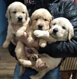 Lindos filhotes Golden retriever