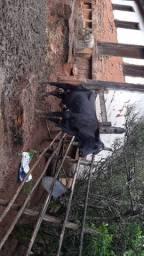 Vacas a venda