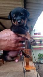 Filhote Rottweiler 35 dias