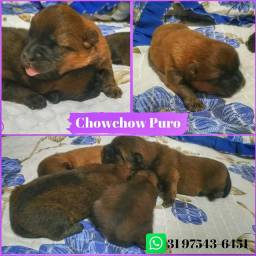 Filhotes Chow Chow