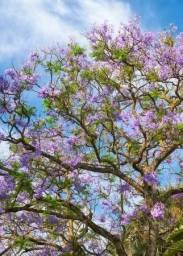 Muda de jacarandá mimoso