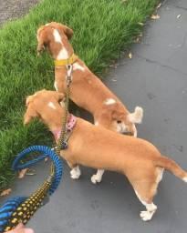 Vendo Filhotes de Beagles ! R$ 350,00