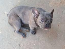 Black Friday Bulldog Francês Exótico Blue Sólido