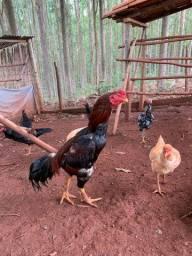 Galo índio e galinhas índias
