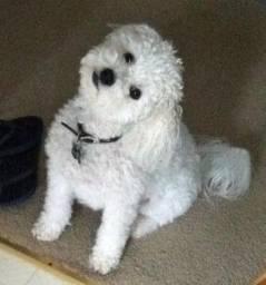Poodle - Disponivel