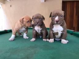 Título do anúncio: Pitbull red nose/ black/ blue, machos e fêmeas(clínica em loja)