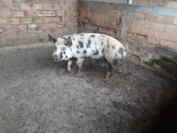 Vende se porco reprodutor