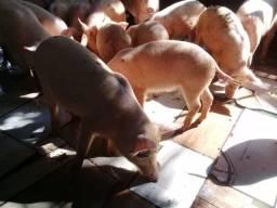 Porcos e leitões para o abate imediato ou engorda