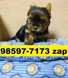 Canil Filhotes Cães Top BH Yorkshire Maltês Poodle Lhasa Shihtzu Bulldog Pug