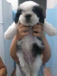 Título do anúncio: cachorrinho shih tzu