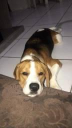 Título do anúncio: Beagle macho a procura de namorada