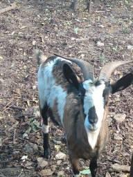 Vendo uma cabra da raça toge Amorjando ótimo pra leite