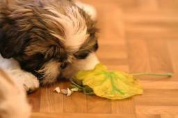Shih tzu do Canil PS