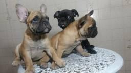 Bulldog Francês cabeça escura;cor uniforme;perna arqueada, orelha levantada($2200)