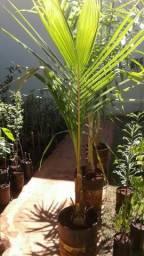 Produtor coco anão 1 e 2 anos e Coco anão- Grande Promoção- Cítricas