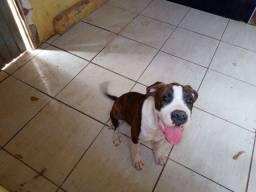 Vendo filhote de Dog Argentino 3 meses