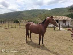 Cavalo mestiço de Quarto de Milha