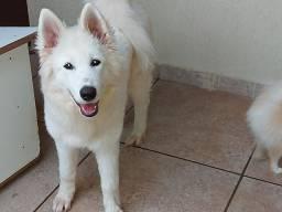 Cão da Raça Samoeida com 5 meses de vida