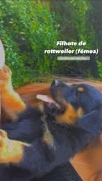 Filhote Rottweiler com 70 dias