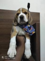 Beagle em promoção