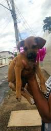 Cachorra para adoção