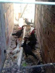 Vendas galos, galinhas e frangos de raça