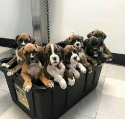 Bebês de Boxer