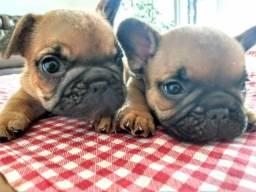 Bulldogs francês