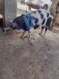 Porcão domesticado