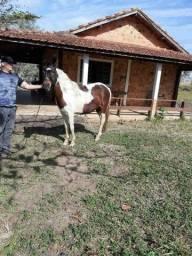Título do anúncio: Égua Mangalarga Pampa Showw