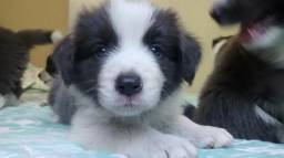 Border Collie Filhotes de Border Collie com pedigree CBKC