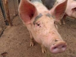 Dois porcos a venda