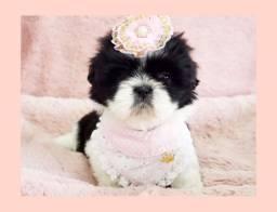 Princesa shihtzu fêmea, filhote de alta qualidade! Foto real!