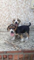 Tenho  Beagle13 Polegadas