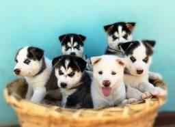 Filhotes de Husky Siberiano - Cachorro