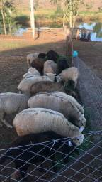 Ovelhas de cria