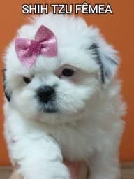 Linda princesa Shih tzu