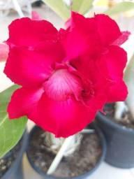Título do anúncio: Flora Rosário vende belíssimas Rosas do Deserto!!!